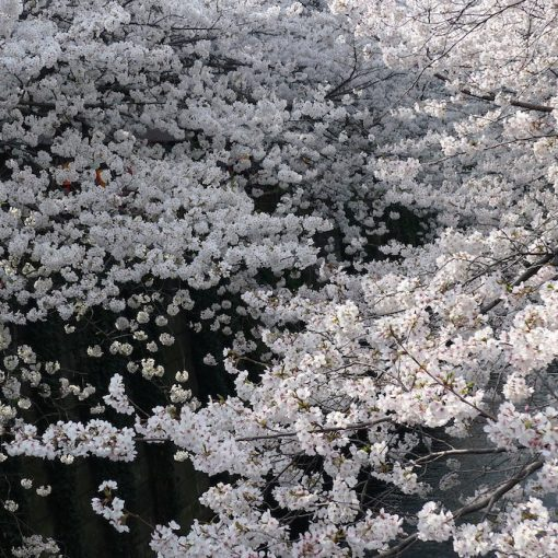SIX CHERRY BLOSSOM SPOTS FROM MURAKAMI'S NOVELS