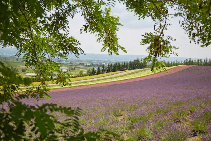 Hokkaido Lavender
